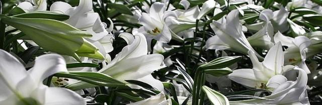 risen lilies 800px-Field-of-Easter-Lilies_ForestWander (2)